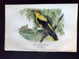 C. W. Gedney 1888 Antique Hand Col Bird Print. Golden Oriole